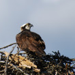 Osprey on nest — Stock Photo #9211577