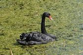 Black Swan in a green pond — Stock Photo