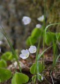 Flowering wood-sorrel in natural habitat — Stock Photo