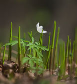 Wood anemone in natural habitat — Stock Photo