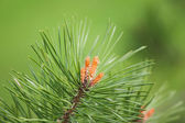 Pine tree blossom on natural background — Stock Photo