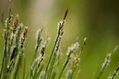 Bent grass on natural background — Stock Photo