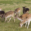 Young deer flock grazing - Stock Photo