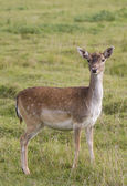 Beautiful young doe — Stock Photo