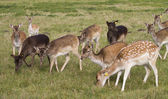 Young deer flock grazing — Stock Photo