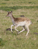 Beautiful young doe running — Stock Photo
