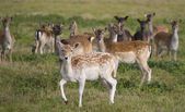 Young deer flock — Stock Photo
