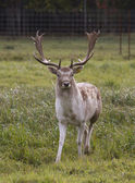 Beautiful adult deer — Stock Photo
