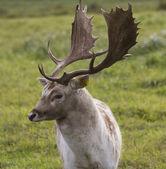 Beautiful adult deer — Stock Photo