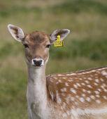 Beautiful young doe — Stock Photo