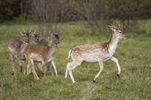 Young deer flock running — Stock Photo
