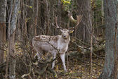 Beautiful deer in the forest — Stock Photo