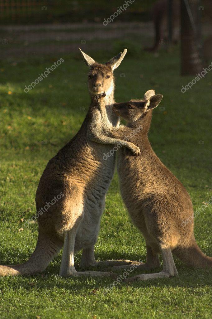 两个袋鼠拥抱— 照片作者