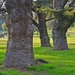 Giants trees in the park — Stock Photo