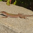 Wall lizard - Stock Photo