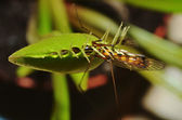 Dionaea carnivorous plant with prey — Stock Photo