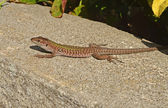Wall lizard — Stock Photo