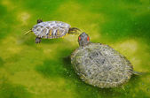 Turtle fight — Stock Photo