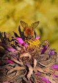 Wild bee on the flower — Stock Photo