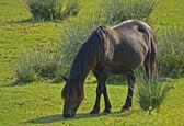 Pascolo di cavallo — Foto Stock