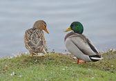 Ducks couple — Stock Photo