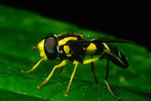 Fly disguised as wasp — Stock Photo