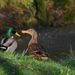 Stock Photo: Ducks in love