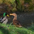 Ducks in love — Stock Photo #9322584