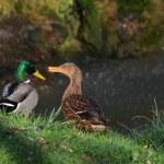 Ducks in love — Stock Photo