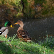 Ducks couple near the waterfall — Stock Photo