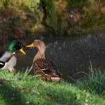 Ducks couple near the waterfall — Stock Photo