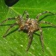 Wolf spider portrait - Stock Photo