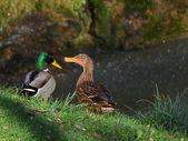 Ducks in love — Stockfoto