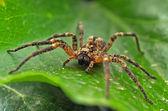 Tarantula on the leaf — Stock Photo