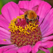 Stock Photo: Wild bee pollinate flower