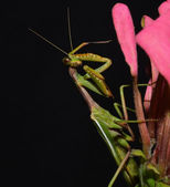 Praying mantis that scratch one's head — Stock Photo