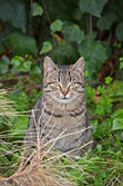 European wild cat — Stock Photo