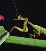 Mantis cleaning oneself — Stock Photo