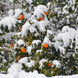Stock Photo: Orange tree under snow