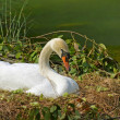 Wild swan on the nest — Stock Photo
