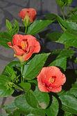 Flores del hibisco — Foto de Stock