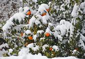 在雪下的桔子树 — 图库照片