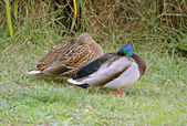 Ducks couple rest near the marsh — Stock Photo