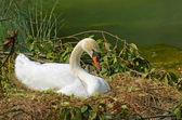 Wild swan on the nest — ストック写真