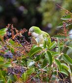 Green parrot portrait — Stock Photo