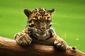 Jaguar, spanie — Zdjęcie stockowe