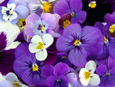 Violets. Arrangement of violet blossoms — Stock Photo