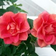 Stock Photo: Red rosa