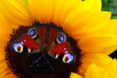 Sunflower and Butterfly Inachis — Stock Photo