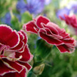 Red carnation and cornflowers — Stock Photo